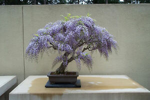 image is loading wisteria bonsai seed kit grow your own bonsai bought bonsai tree
