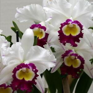 59-Blc-Blanche-Aisaka-Yuki-Highly-Awarded-FCC-BUD-in-SHEATH-Beautiful-Blooms