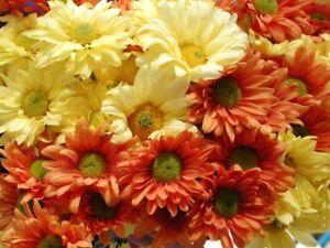 1-4-POUND-HEIRLOOM-DAISY-GLORIOUS-375-000-FLOWER-SEEDS