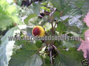 50-TOOTHACHE-PLANT-seeds-Spilanthes-Acmella-Oleracea