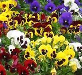 PANSY 'Swiss Giant Mix' 25 seeds flower garden EASY TO GROW cool climates