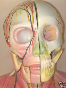 Human-head-neck-dissection-anatomy-anatomical-model-medical-teaching-New