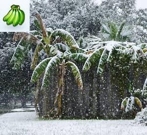 Musa Basjoo Banana plant tree -20 degrees