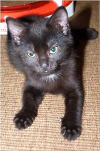 Sponsor a Cat for a Year IVY Black Cutie birthday Mothers day photo Charity