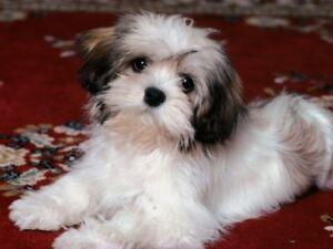 4-Havanese-Puppy-Dog-Greeting-Notecards-Envelopes