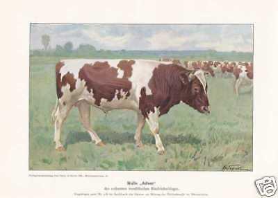 """Bulle """"Adam"""" Zuchtbulle FARBDRUCK von 1925 Reprint"""