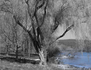 Black-White-Willow-Tree-Blue-Lake-Interior-Home-Wall-Art-Matted-Picture