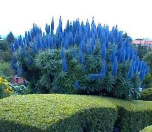 Echium-Fastuosum-Seeds-Pride-Of-Madeira-Plant