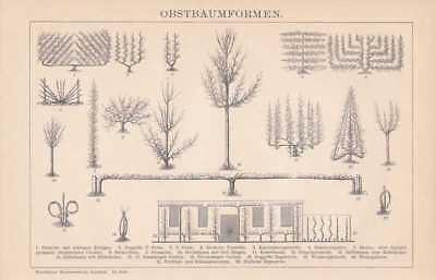 Spalierobst Schnittformen Spalier HOLZSTICH von 1898 Obstbaumformen