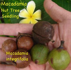 LIVE-Seedling-MACADAMIA-NUT-Fruit-Tree-Mauna-Loa-PLANT