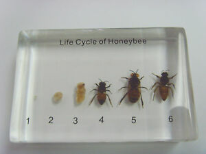 Life-Cycle-of-Honey-Bee-Set-Simplified-Insect-Specimen-Clear-Block