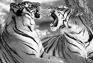 TIGERS-BOX-CANVAS-PICTURE-ANIMAL-ARTWORK-PRINT-30-x20