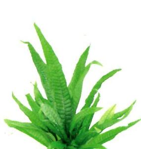Java-Fern-Live-Plant-for-Vivarium-Terrarium-Aquarium