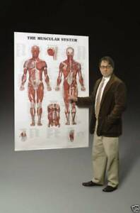 Giant-Human-Muscular-System-Anatomical-Chart-Poster