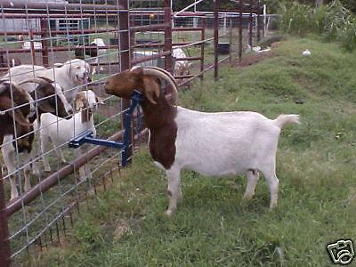 EZ Goat Holder Boer Sheep