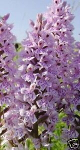 British Wild Flower - Dactylorhiza fuchsii - Common Spotted Orchid - 25000 Seed