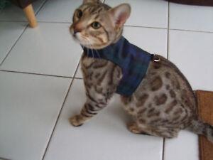 Cat Video Harness