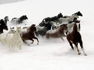 Horses in Snow Canvas Print 20*26 Inch HUGE !