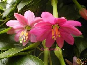 Banana Passionfruit Seed Delicious Sweet Fruit Hardy Evergreen Vine
