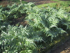 Cardoon-Cynara-cardunculus-2g-Approx-40-seeds-Herb