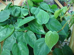 HEART-SHAPED-LEAF-PHILODENDRON-house-plant
