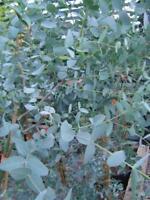 Eucalyptus Gunnii Supplied In 9cm Pot -  - ebay.co.uk