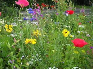 10 WILD FLOWER MEADOW MINI PLUG PLANTS