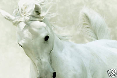 "WHITE HORSE CANVAS ART ANIMAL ARTWORK PICTURE 30""x 20"""