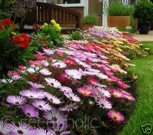 Livingstone-Daisy-Ice-Plant-Magic-Carpet-Mix-500-Seeds