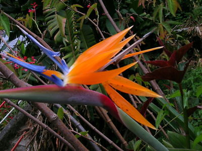 bird of paradise, TROPICAL/ house plant, Orange flower, 8 seeds! GroCo#