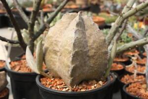 Whitesloanea-crassa-5-seeds-super-rare-Succulent-Ariocarpus-Pseudolithos