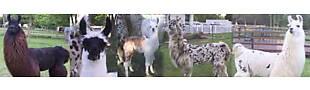 Town and Country Llamas