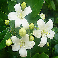 Murraya-exotica-ORANGE-JESSAMINE-Wonderful-Citrus-Jasmine-Frangrance-PLANT