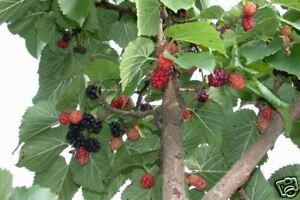 schwarzer maulbeerbaum morus nigra winterhart ebay. Black Bedroom Furniture Sets. Home Design Ideas