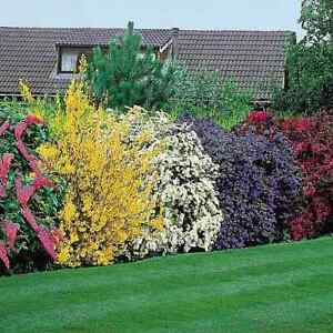 *Great Value* Pack of 10 Mixed Established Shrubs