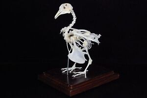 pigeon skeletons taxidermy specimen good qualilty