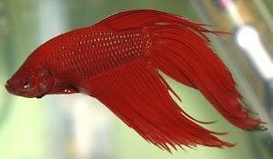 MALE-SIAMESE-FIGHTING-FISH-5CM-Betta-splendens