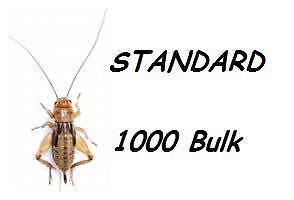 1000 STANDARD CRICKETS SILENT BROWN Live Food Livefood