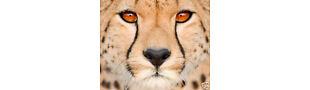 Cheetah111's Place