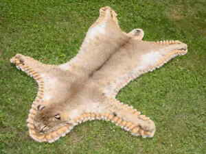 Nebraska Bobcat rug/pelt/skins for Hunter/log Cabin decor real animal fur/hide.