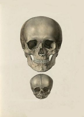ANTIQUE MEDICAL ADULT & INFANT SKULL A3 POSTER RE PRINT