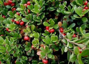 Bearberry-Arctostaphylos-uva-ursi-Seeds-Edible-Hardy-Evergreen-Ground-Cover