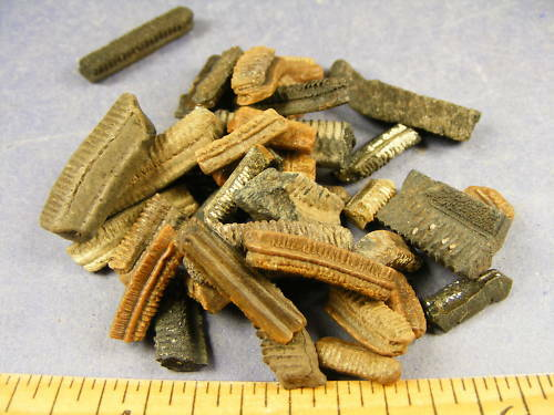 partire In qualche modo Sonno  Fossils Teacher Special BULK Buy Drumfish Teeth for sale online | eBay