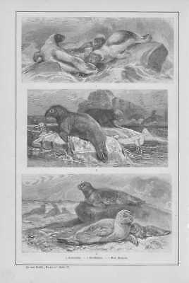 Robben Seehunde Klappmütze Walroß HOLZSTICHE von 1893
