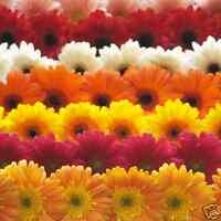 gerbera daisy planting instructions