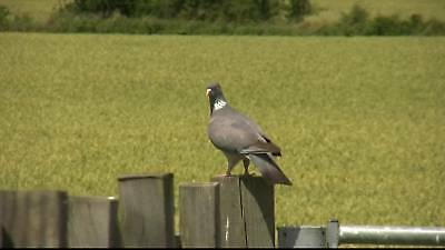Pigeon Shooting 2 X Dvds Decoy Decoying Camo Hide Net Magnet Flapper Poles Kit