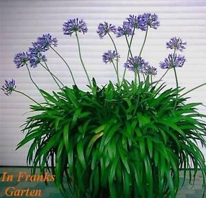 agapanthus praecox schmucklilie lilie afrikanische liebesblume 100 samen ebay. Black Bedroom Furniture Sets. Home Design Ideas