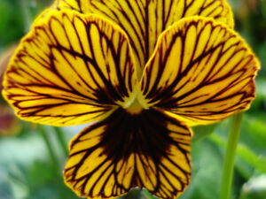 RUSSIAN TIGER EYES PANSY SEEDS UNIQUE & UNUSUAL COLOUR