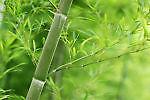 bamboofact