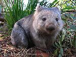 wixy_wombat